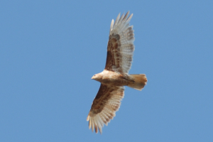 Unusual buzzard