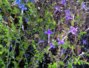 Lobelia (but which one?)