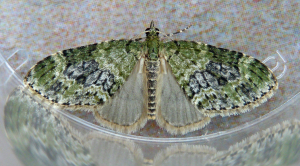 Yellow- barred Brindle