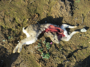 Scrub hare kill