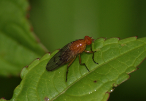 Brown Fly