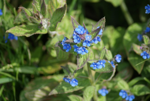 Plant with deep blue flowers