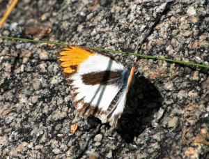 Colotis evagore subsp antigone or Orange Tip