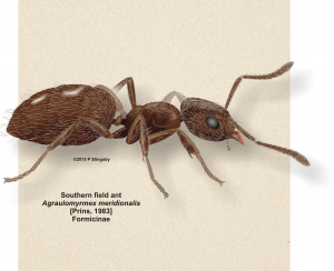 Southern field ant - Ant #91