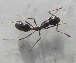Ant 93: Haviland's timid ant