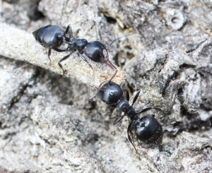 Cocktail ants