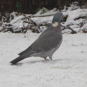 Woodpigeon in the snow