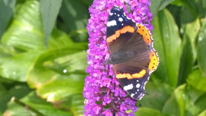 Red Admirl