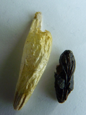unknown cocoon and pupa