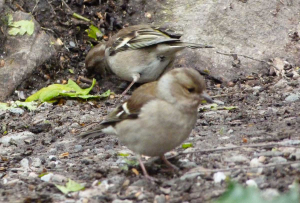 Sparrows or Finches by Loch Lomond