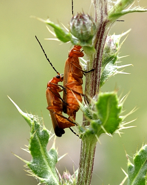 Two Soldier Beetles
