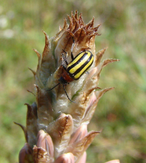 Black and Yellow striped beetle