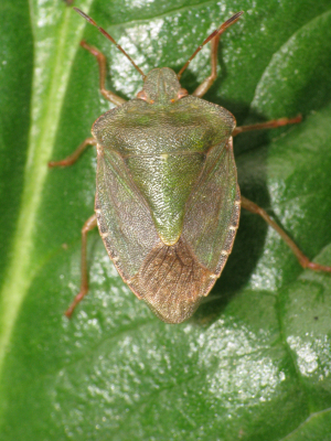 Green Shieldbug (not Hawthorn)