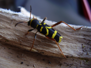 Wasp-type bug in wood-pile