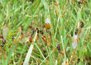 Flying red ants