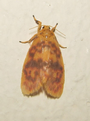 Orange-coloured moth