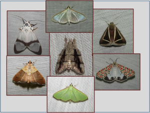 Moths and butterflies of Kosi Bay