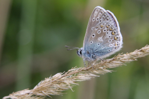 Male Common Blue