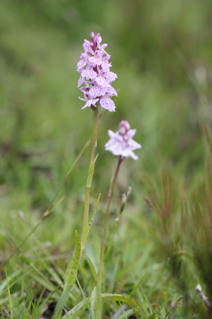 Heath Spottted-orchid