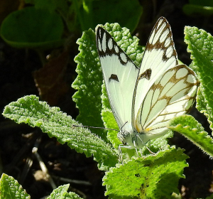 White, with black marking and a hint of yellow, flutterbye