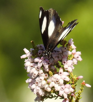 Erica flower visited by Common Diadem (male)