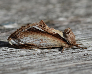 Lesser Swallow Prominent