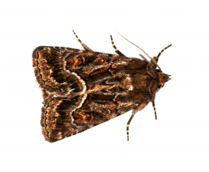 Copper Underwing ?