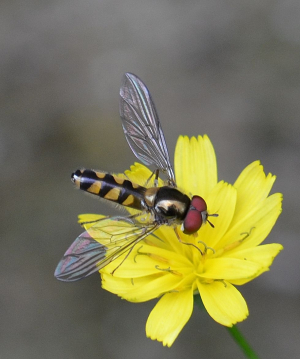 Red-eyed hoverfly