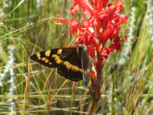 Mountain pride butterfly on Tritoniopsis