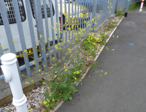 Black Mustard as an urban weed