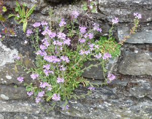Erinus alpinus, Fairy Foxglove, on a wall in Tavistock