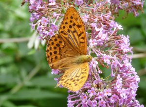 Silver-washed Fritillary possibly
