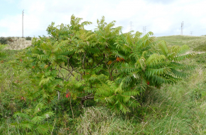 Rhus typhina, Phillack, west Cornwall.