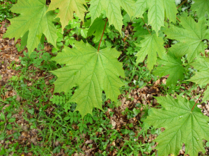 Acer platanoides, Norway Maple, Ivybridge, Devon