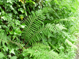 Polystichum setiferum, Soft Shield-fern, Weir Quay to Bere Ferrers road, Tamar Valley, South Devon