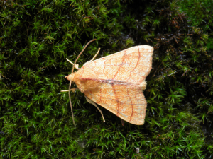Orange Sallow from Landulph