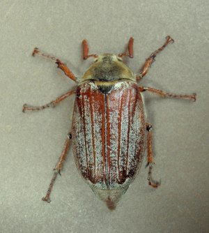 Cockchafer (May Bug)