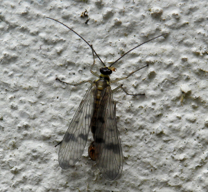 Scorpion Fly (19 May)