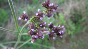 Purple Top Verbena (Sabie)