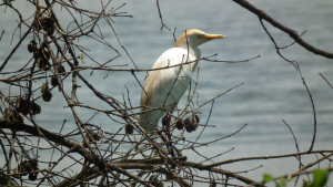 Cattle Egret (Letaba)