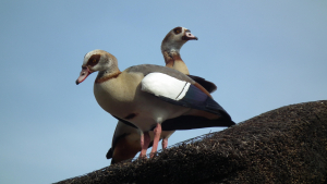Avifauna of Southern Africa - Ducks & Geese