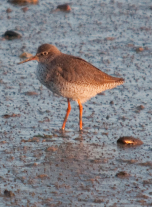 Redshank at Newhaven Tidemills