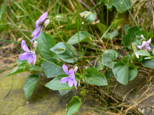 Dog violet - common