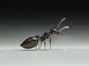 Black ant in the kitchen