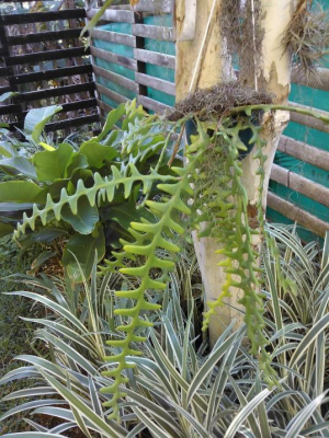 Succulent fern-like plant that flowers for one day a year (in November)