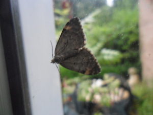 Moth on window taking shelter
