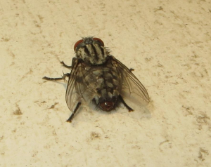 Again one of those Flies that look like a Fleshfly on Steroids