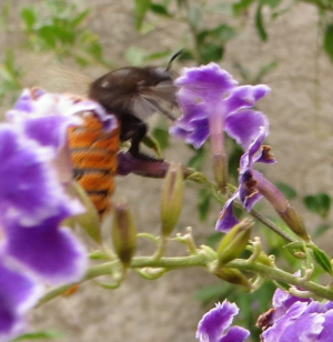 Could be another carpenter bee with woolly rusty behind