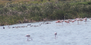 Mixed crowd: pied avocets
