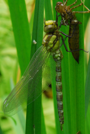 Dragonfly - setting after emerging